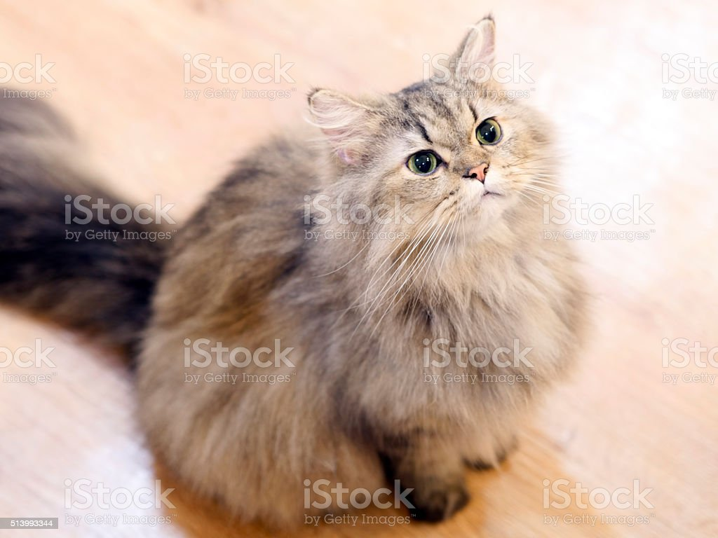 Fat cat looking up stock photo