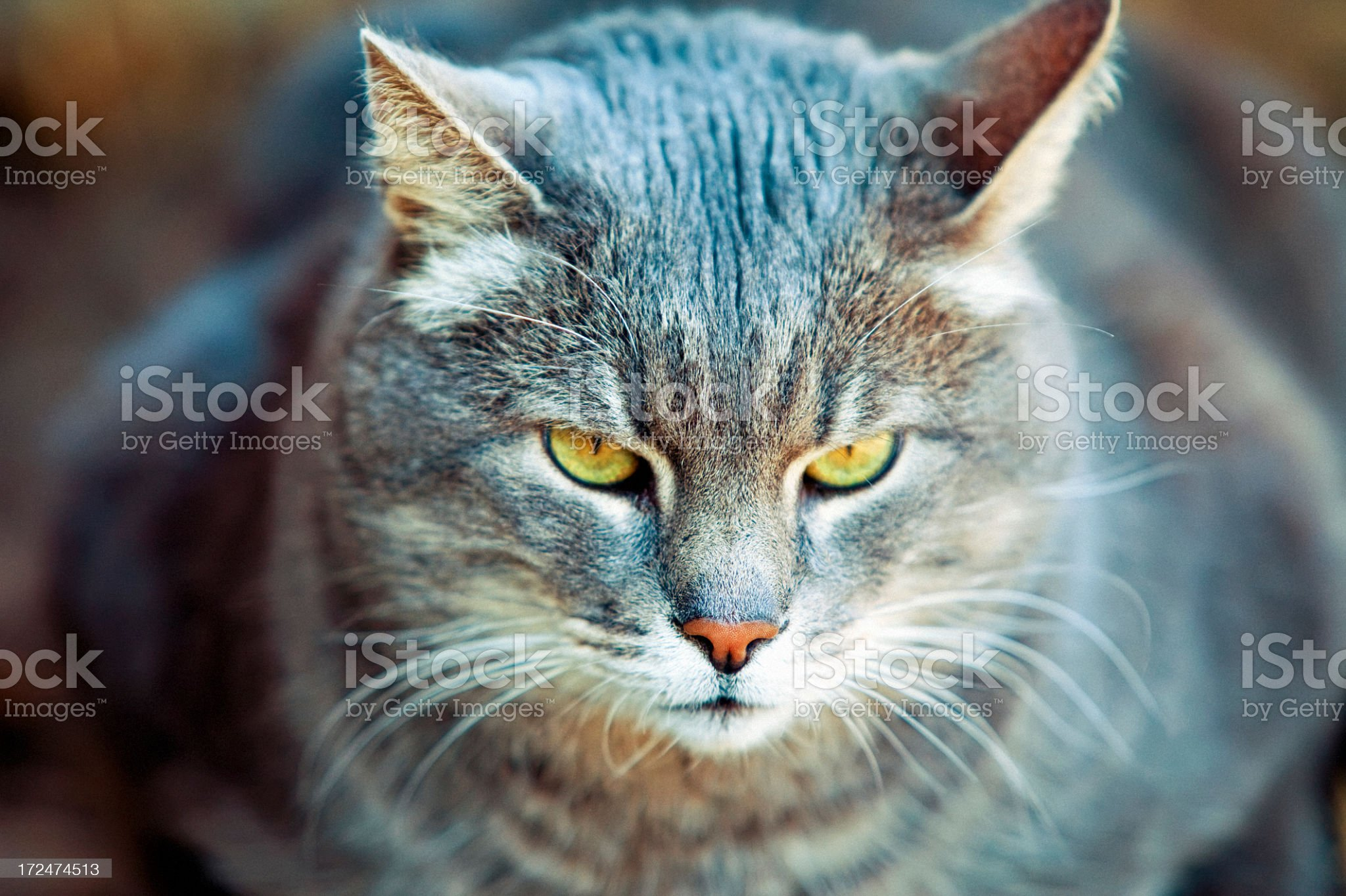 Fat cat portrait royalty-free stock photo