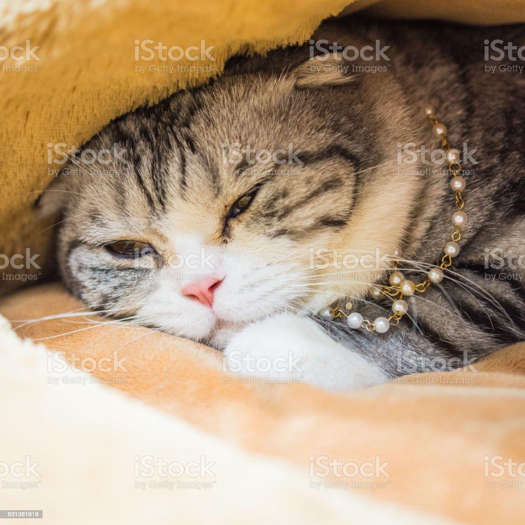 fat cat sleep in cat bed