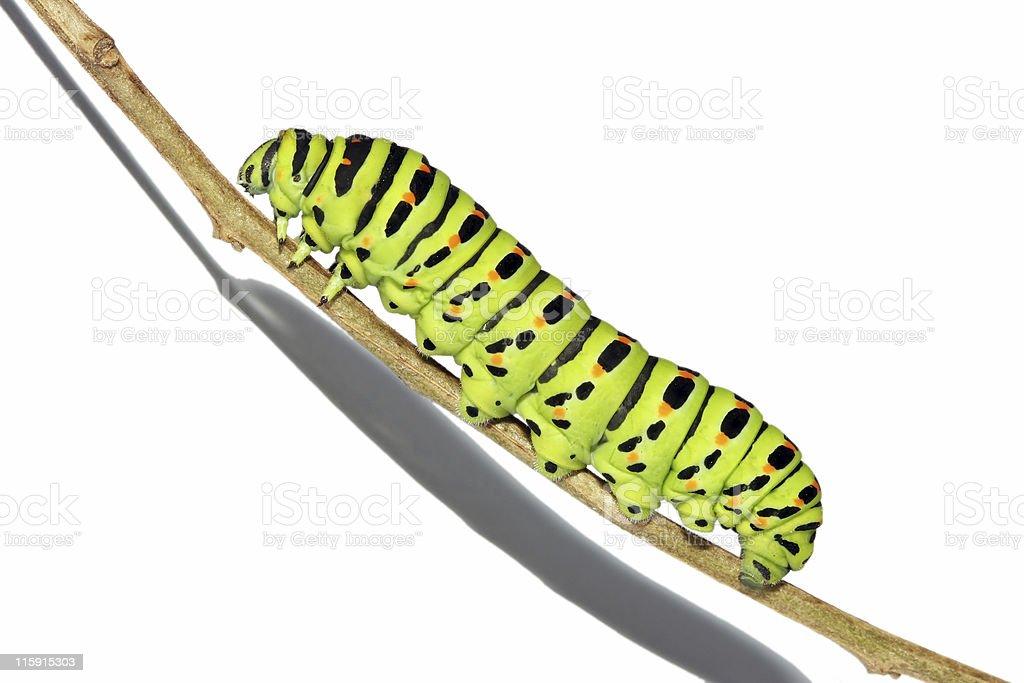 Fat caterpillar climbing stock photo
