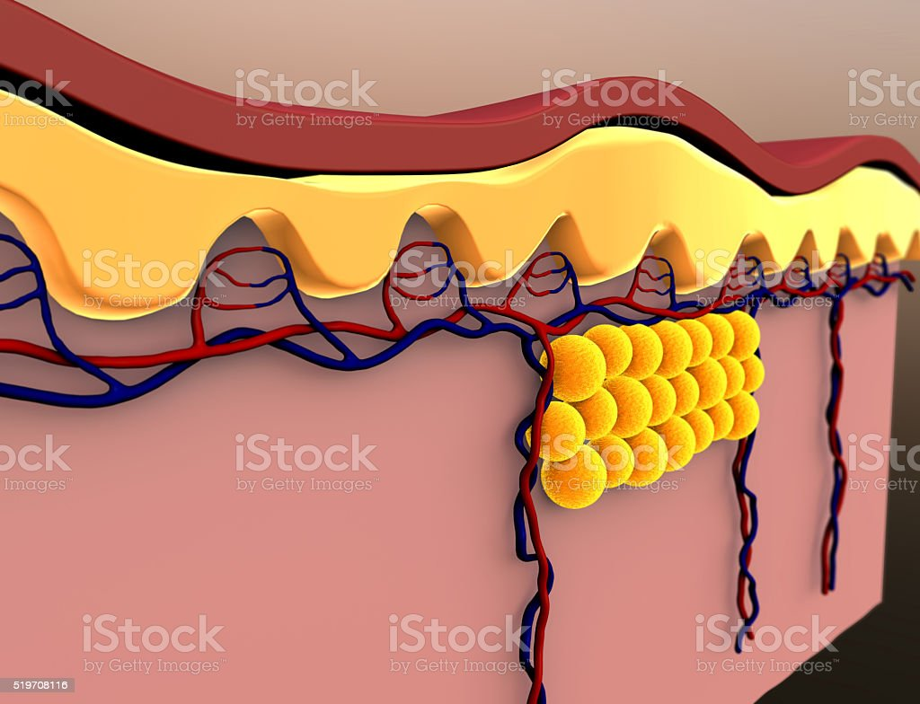 fat cells and vein stock photo