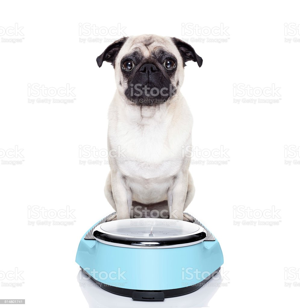 fat dog on scale stock photo