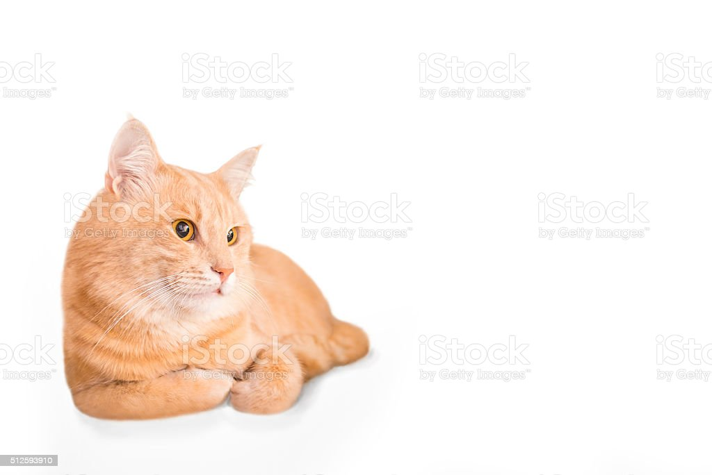 Fat fluffy yellow domestic cat laying on white background stock photo