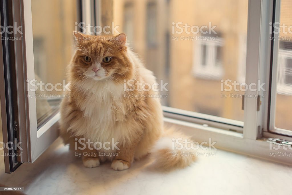 Fat ginger cat stock photo