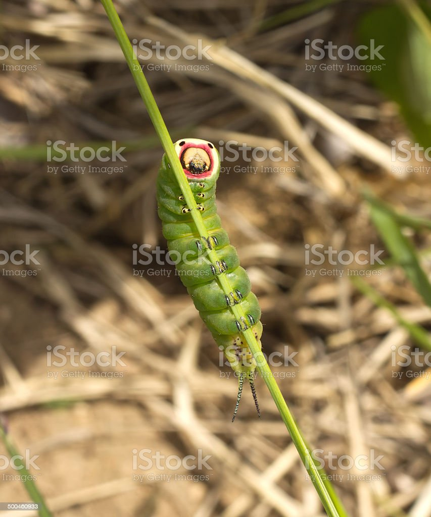 Fat green caterpillar sits on stem closeup stock photo
