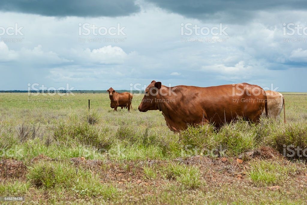 Fat healthy cattle in green pasture stock photo