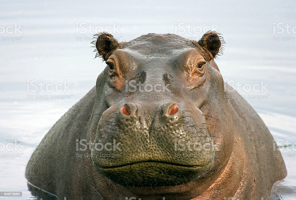 Fat Hippo stock photo