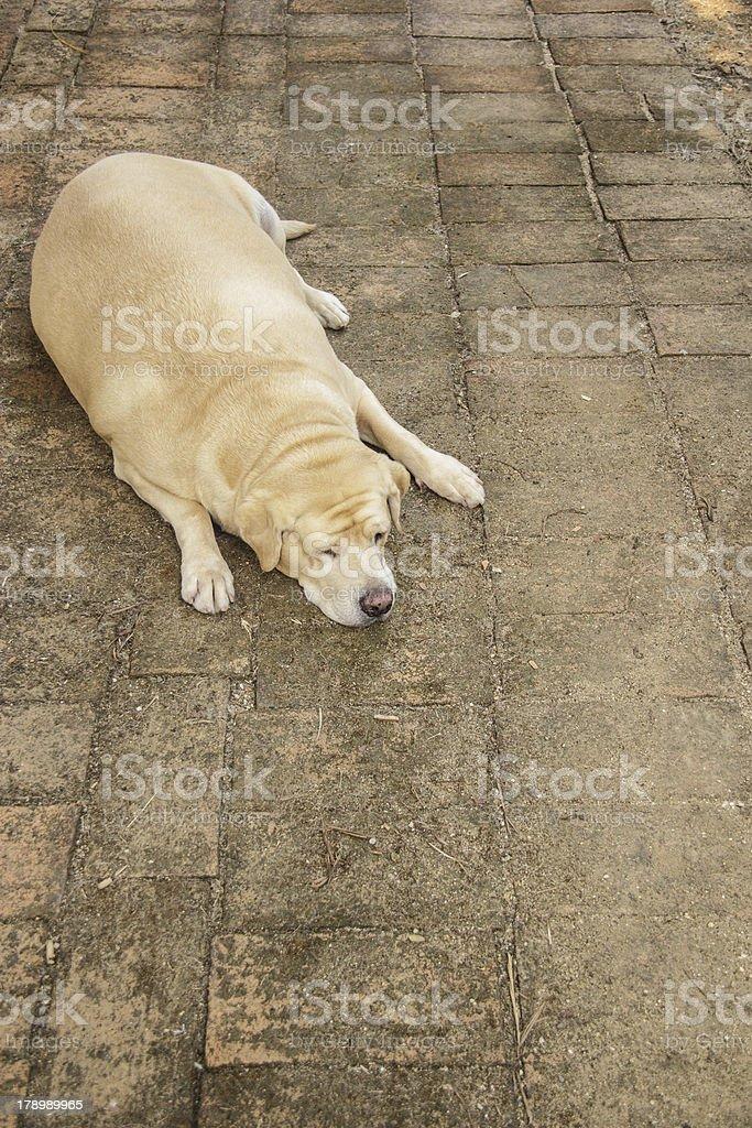 Fat labrador retriever sleep on the floor royalty-free stock photo