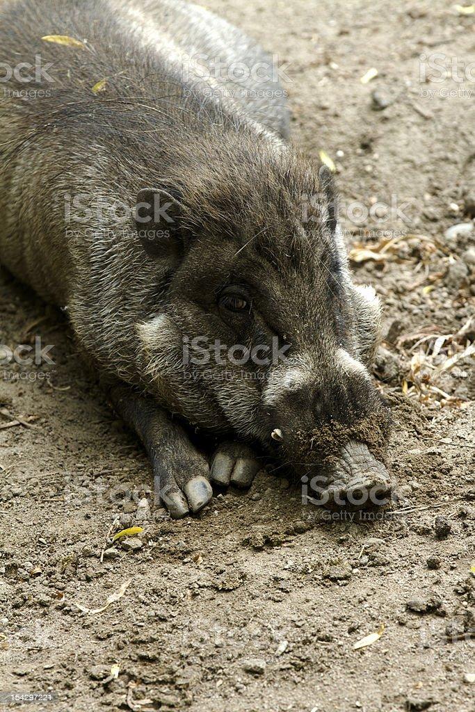 Fat little piggy stock photo