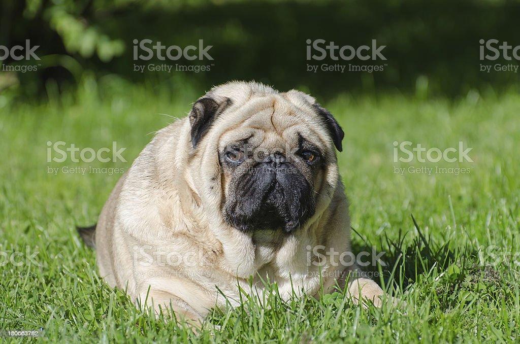 Fat pug dog royalty-free stock photo