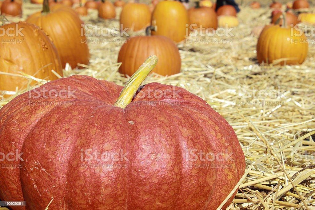 Fat Ripe Pumpkin stock photo