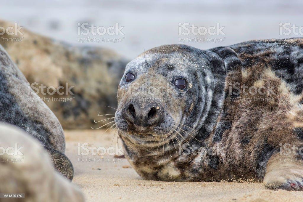 Fat spotty grey seal (Halichoerus grypus) on the beach stock photo