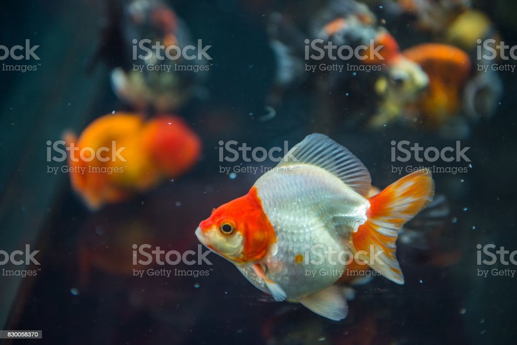 Fat white goldfish swimming in a fish tank stock photo
