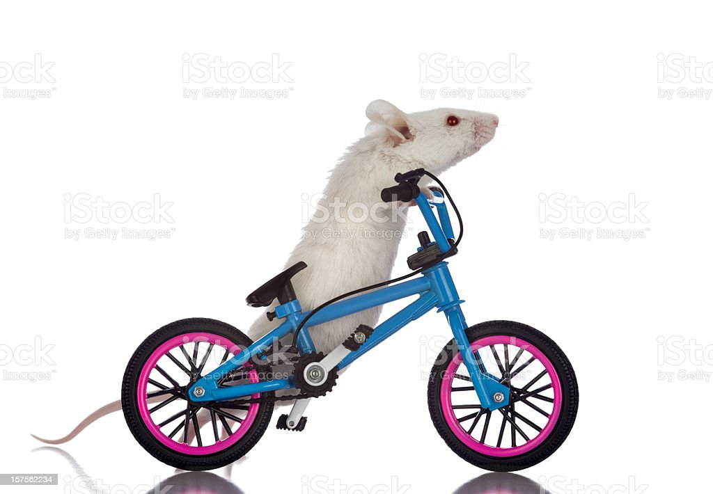Fat White Mouse Walking His Bicycle stock photo