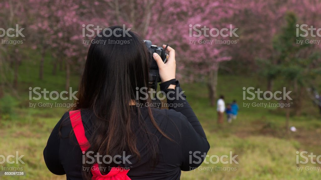 Fat woman travel to take Photo cherry blossom tree in Thailand stock photo
