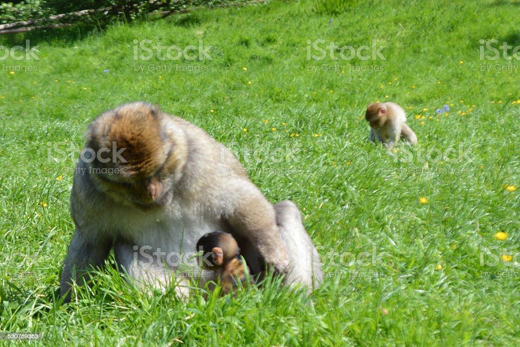 Père et bébé Barbary Macaques photo libre de droits