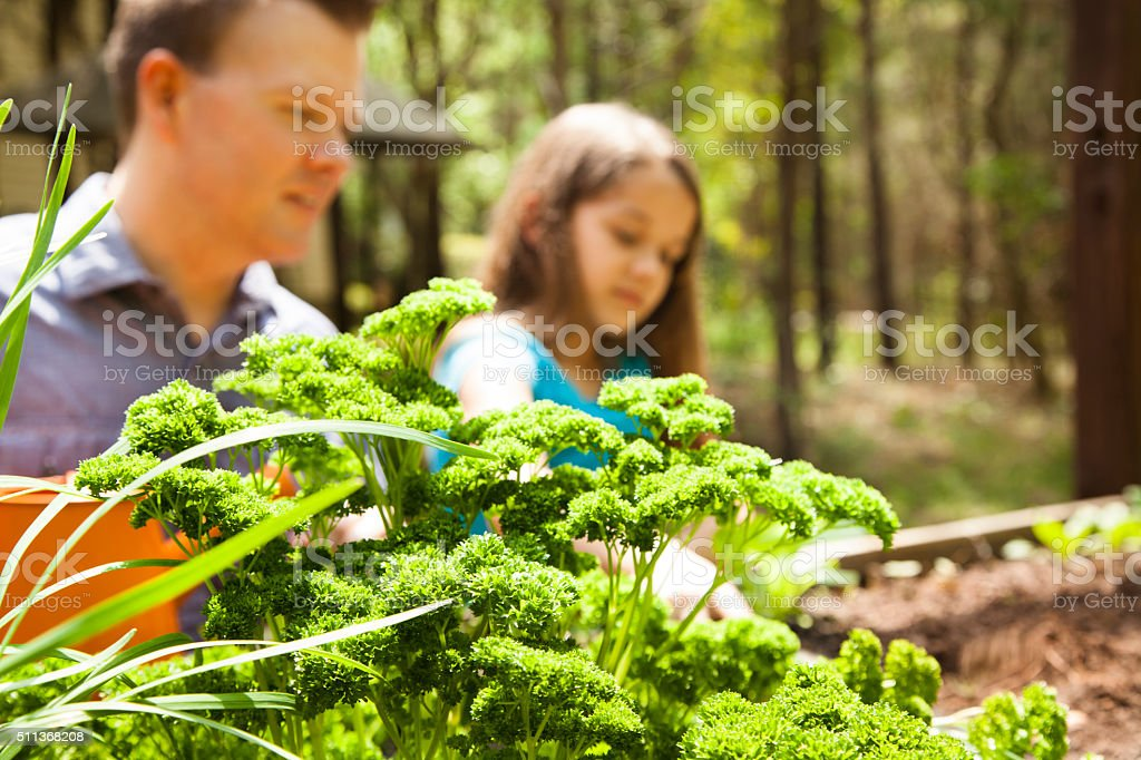 Father and daughter enjoy gardening in backyard. Homegrown organic vegetables. stock photo