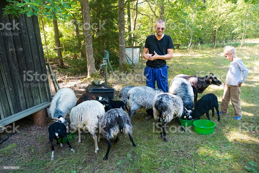 Father and son feeding sheep in a summer meadow, Sweden stock photo