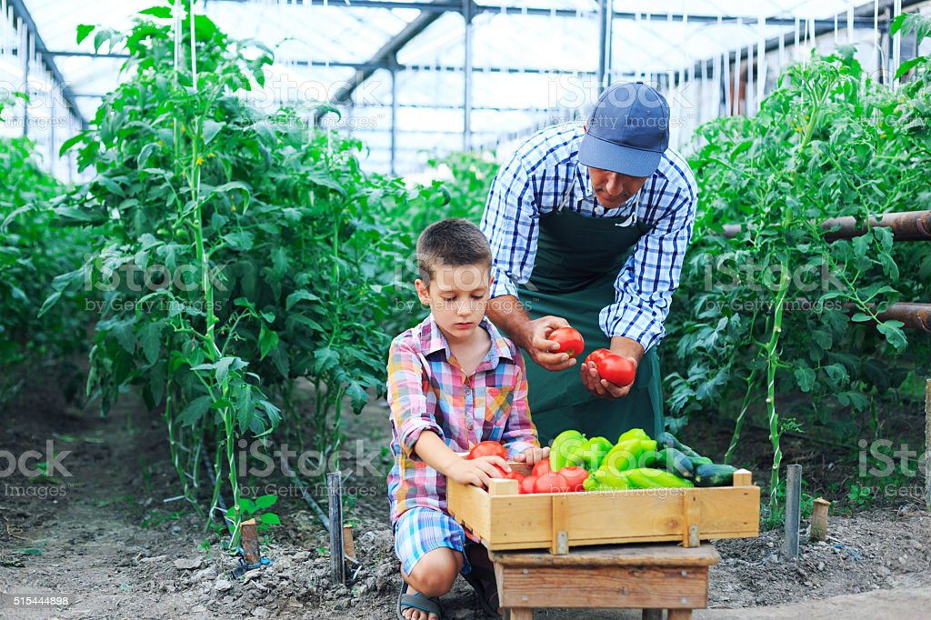Father and son harvest vegetables from greenhouse stock photo
