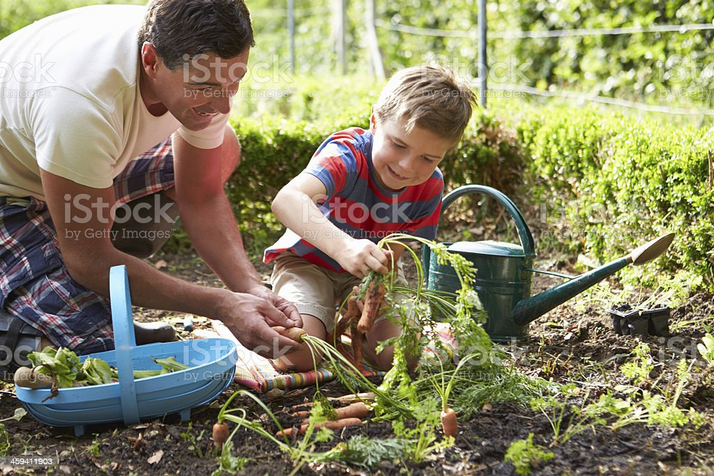 Father And Son Harvesting Carrots On Allotment stock photo