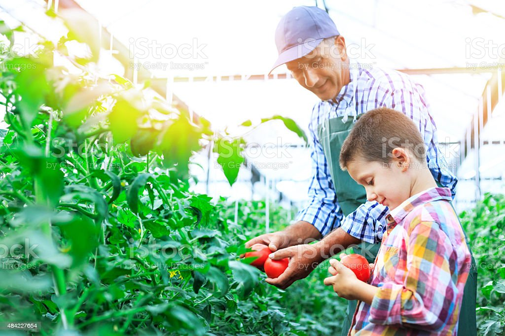 Father And Son Harvesting Home Grown Tomatoes In Greenhouse stock photo