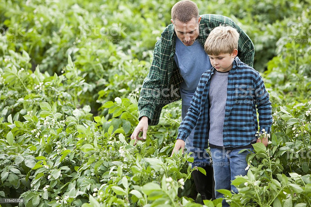 Father and son in potato field stock photo