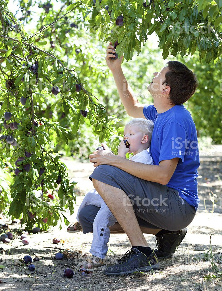 father and son picking plums royalty-free stock photo