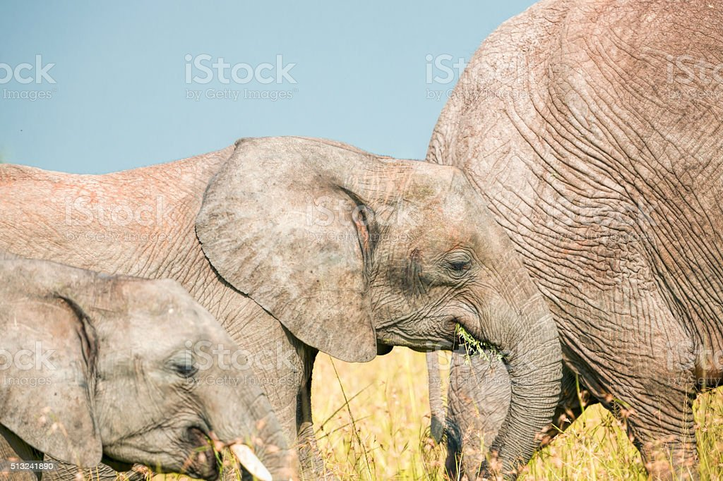Father, Mother and calf elephant grazing together stock photo