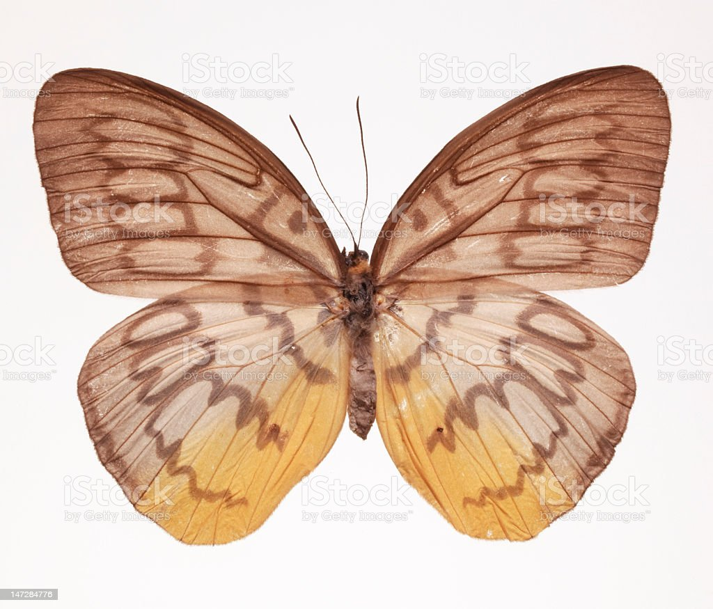 Faun Butterfly royalty-free stock photo