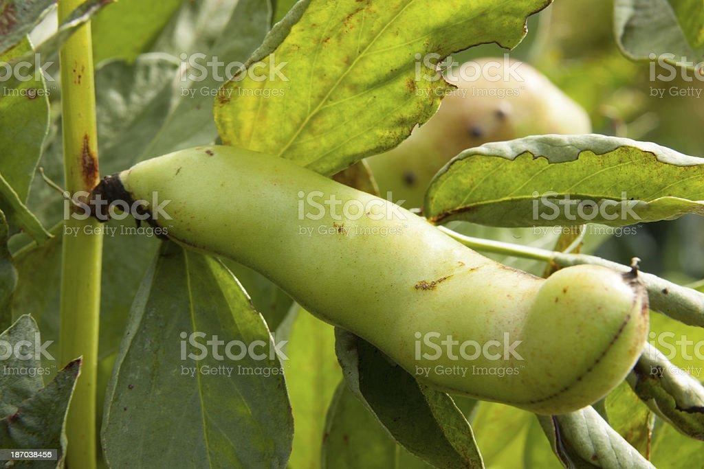 Fava Bean Close-up II royalty-free stock photo