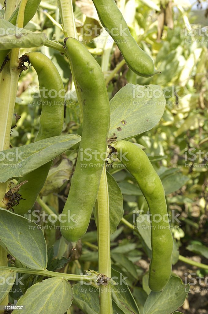 Fava Bean Growing on the Vine royalty-free stock photo