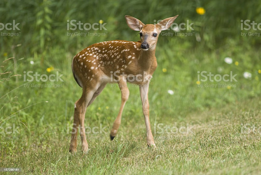Fawn at Edge of Forest stock photo