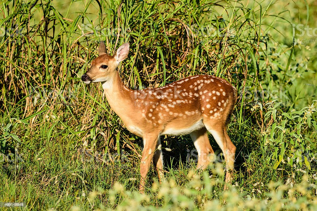 Fawn deer in morning light 4 stock photo