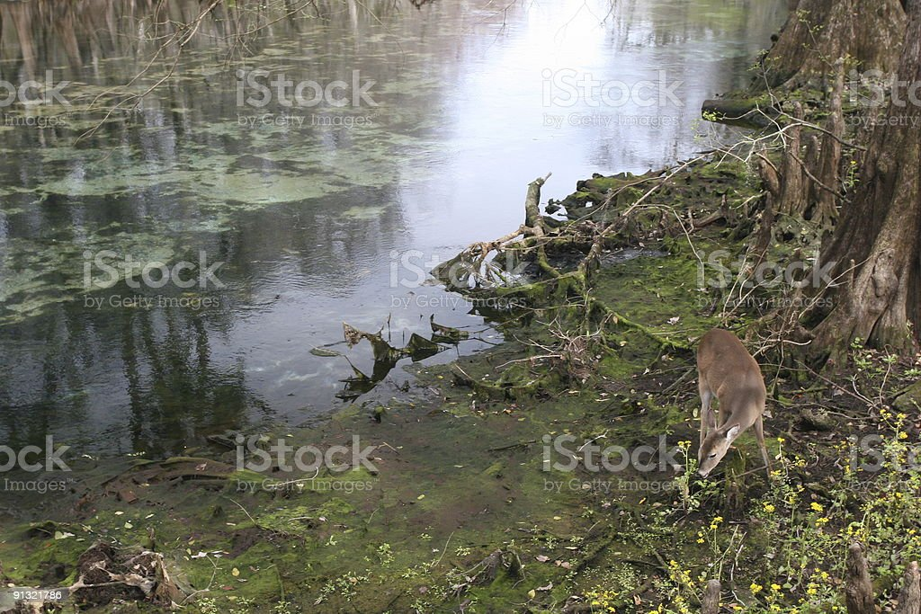 Fawn eating at Florida Spring royalty-free stock photo