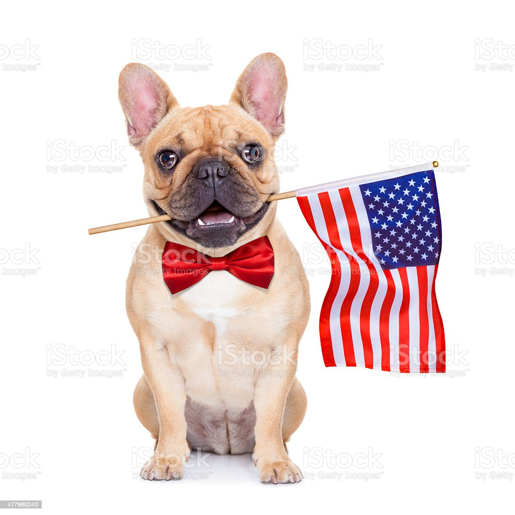 french bulldog holding a flag of usa on independence day on 4th of...