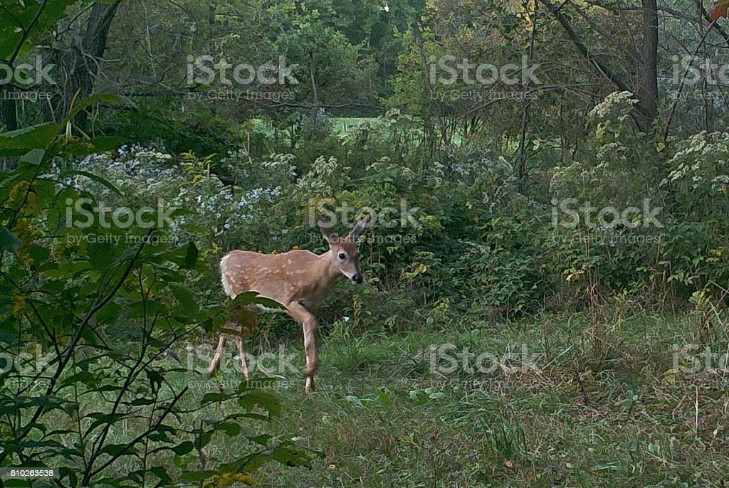Fawn in the Forest stock photo