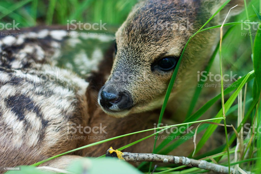 fawn in the wild stock photo