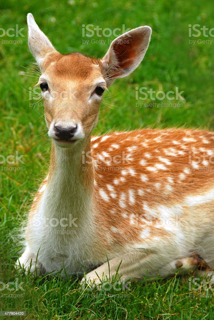 Fawn lying on front with it`s beautiful big eye`s stock photo