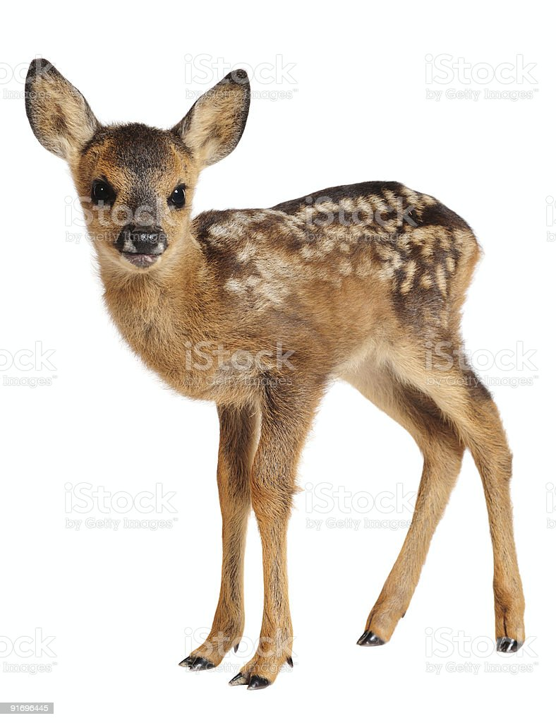 Fawn royalty-free stock photo