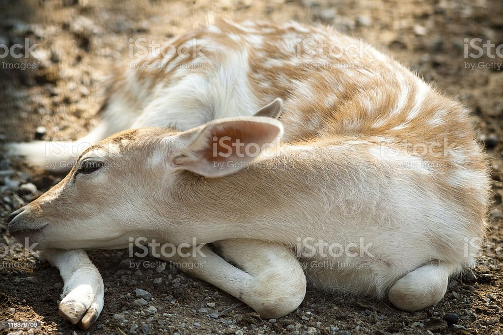 Fawn Portrait stock photo