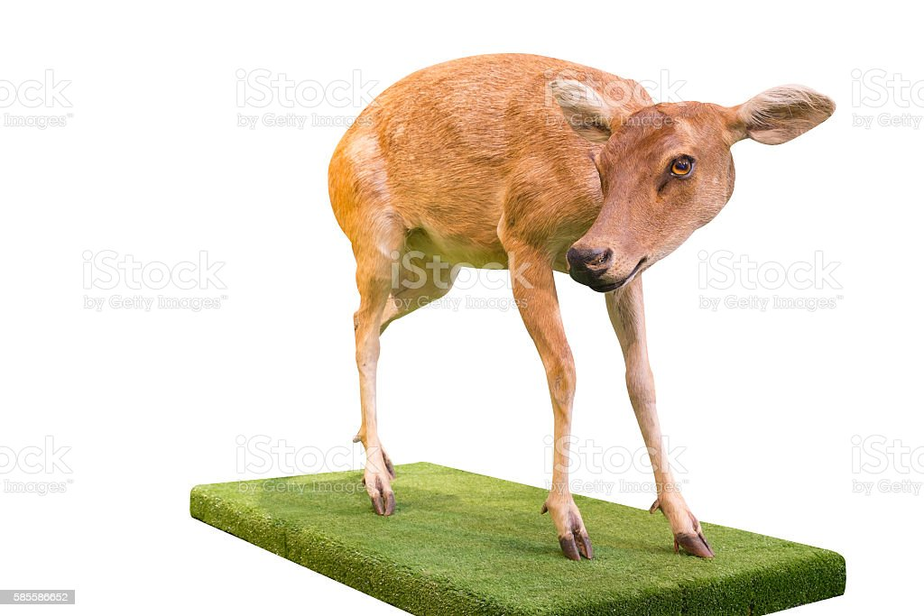 fawn standing on white background Lizenzfreies stock-foto