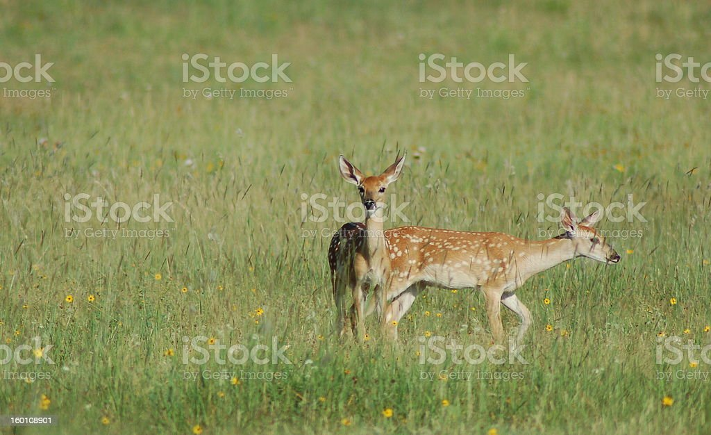 Fawns royalty-free stock photo