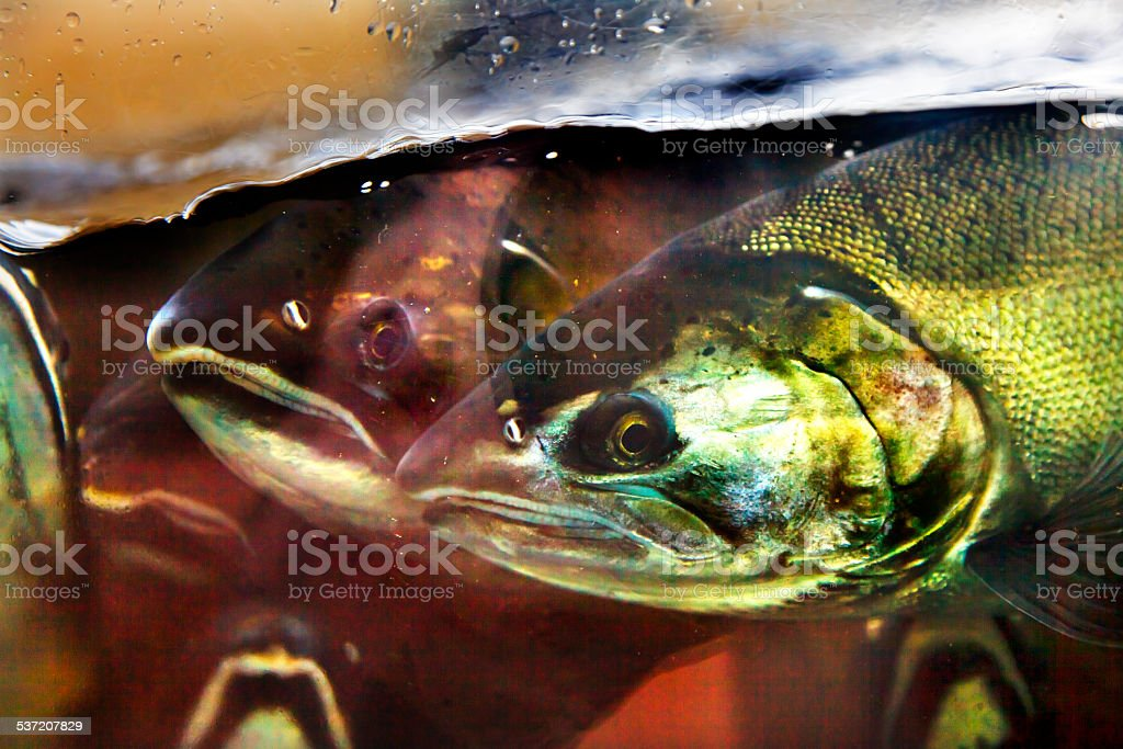 Fear Chinook Coho Salmon Close Up Issaquah Hatchery Washington S stock photo