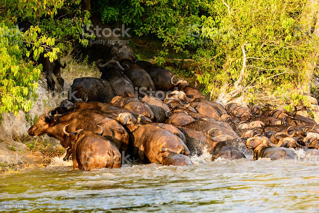Fearful Buffalo rushing to get out of the Chobe river stock photo