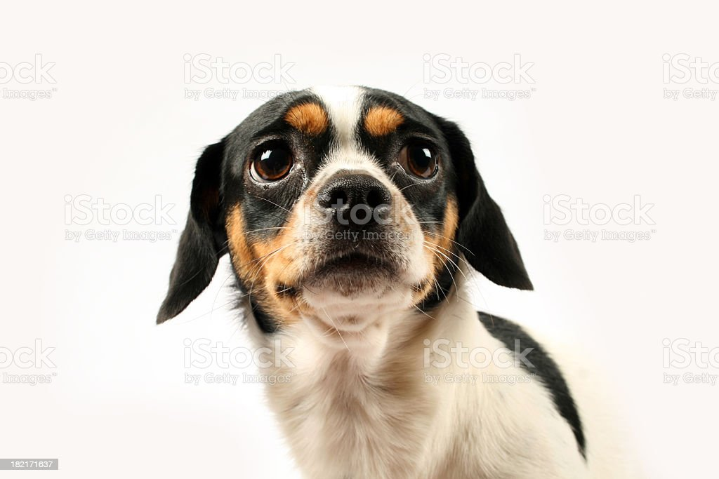 Fearful small dog on white background stock photo