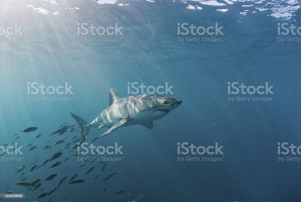 Fearsome great white shark stock photo