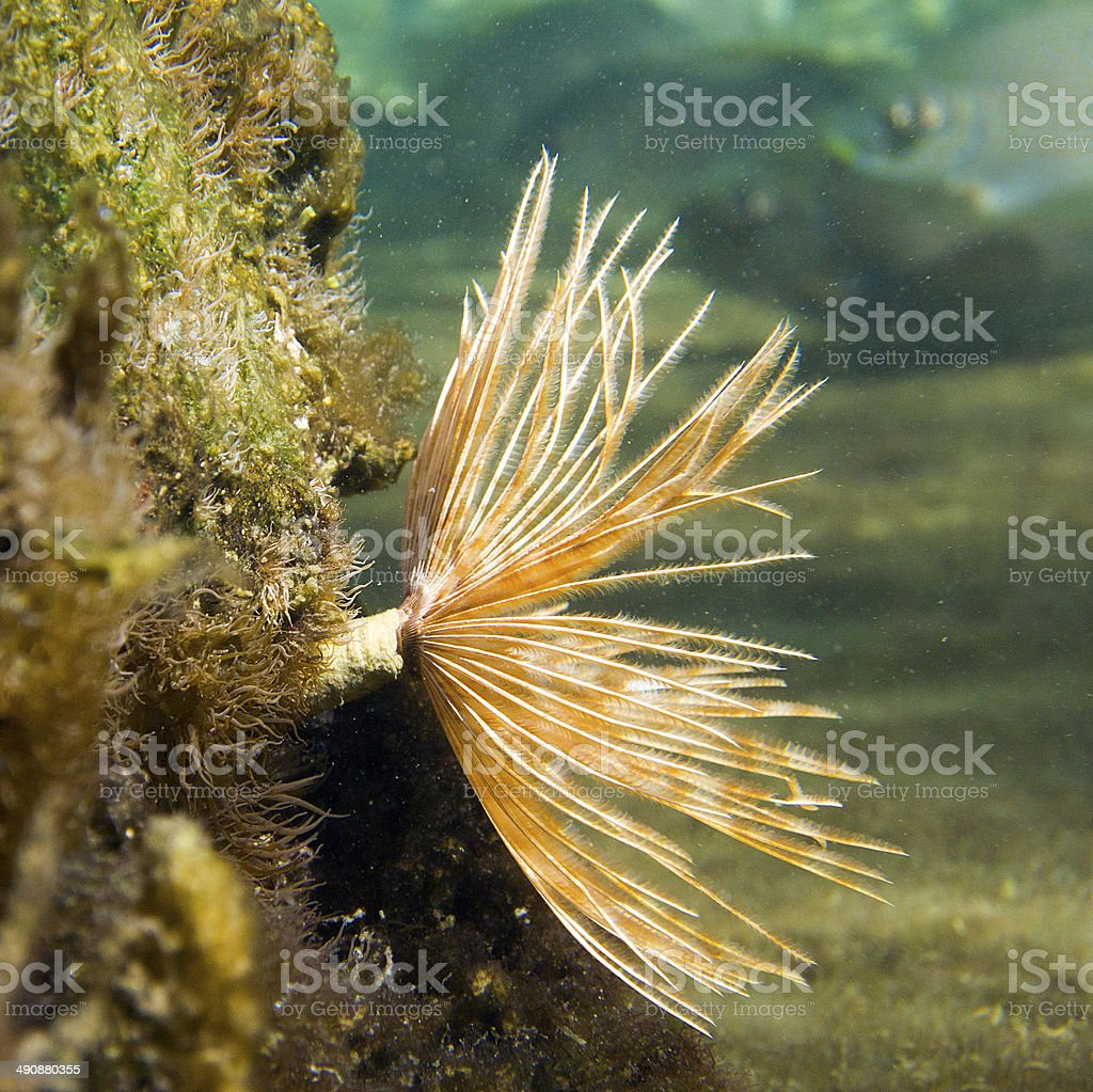 feather duster worm  Savellastate spectabilis stock photo