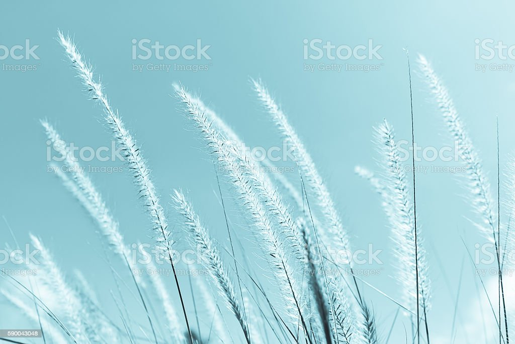 Feather grass in nature stock photo