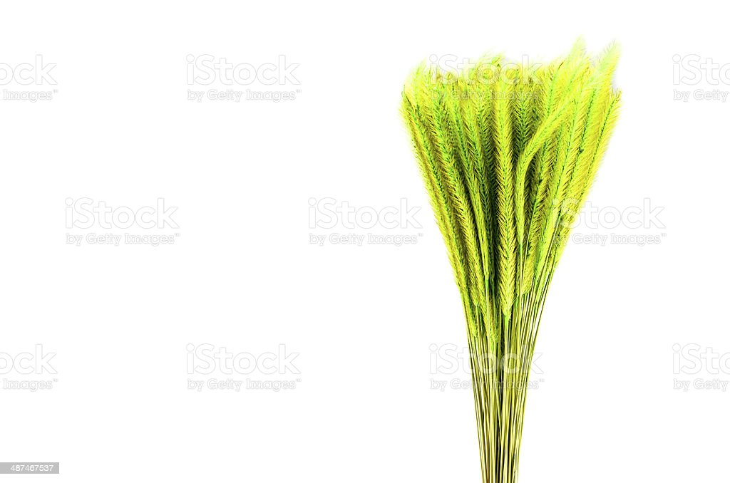 Feather Grass or Nassella tenuissima isolated on white stock photo