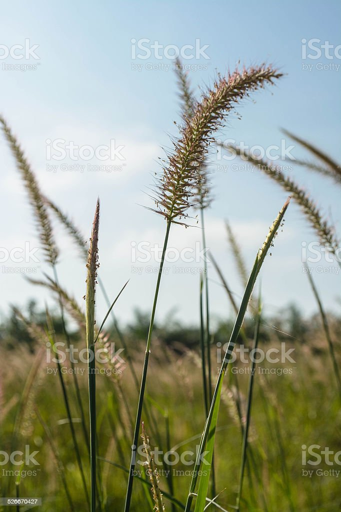 Feather Grass or Needle Grass stock photo